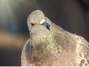Le comportement des pigeons