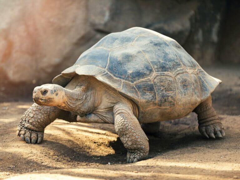 Le comportement des tortues