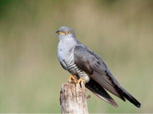 Coucou gris : habitat, caractéristiques et incubation