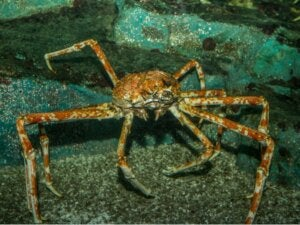 Les différents types de crabes de la mer de Béring