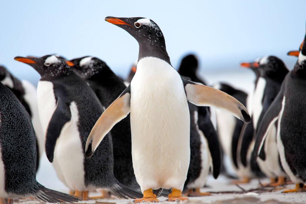 Le comportement des pingouins