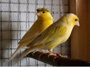 Mon canari a arrêté de chanter : causes et solutions