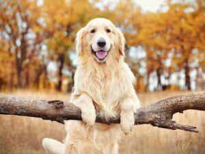 6 différences entre le labrador et le golden retriever