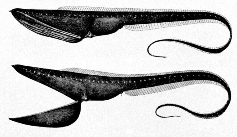 Grandgousier-pélican : habitat et caractéristiques