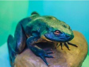 Grenouille goliath : habitat et caractéristiques