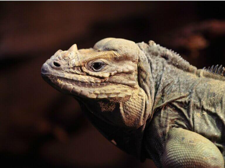 Iguane rhinocéros : habitat, caractéristiques et conservation