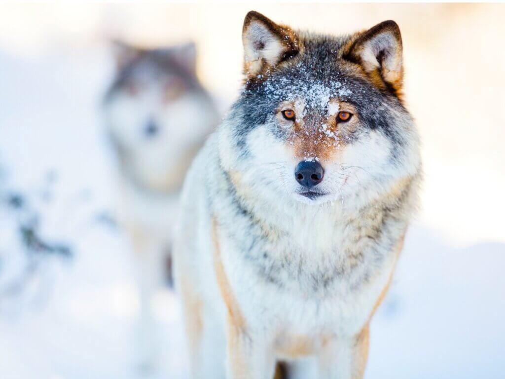 Le comportement des loups