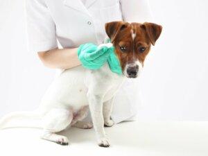 Paraphimosis chez le chien : caractéristiques, causes et traitement