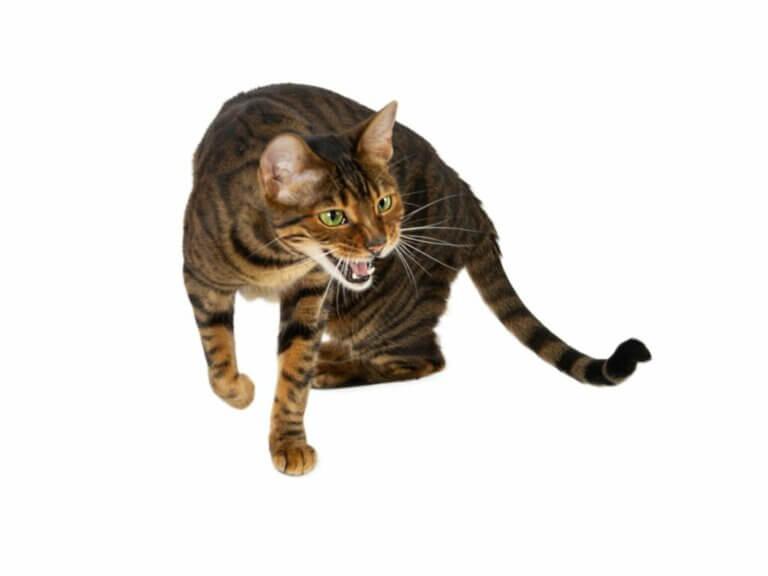 10 races de chats tigrés