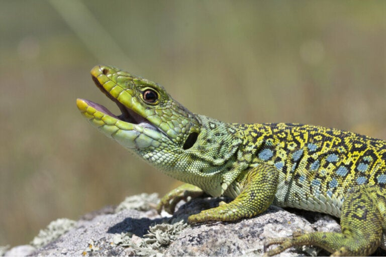 Comment les reptiles respirent-ils ?