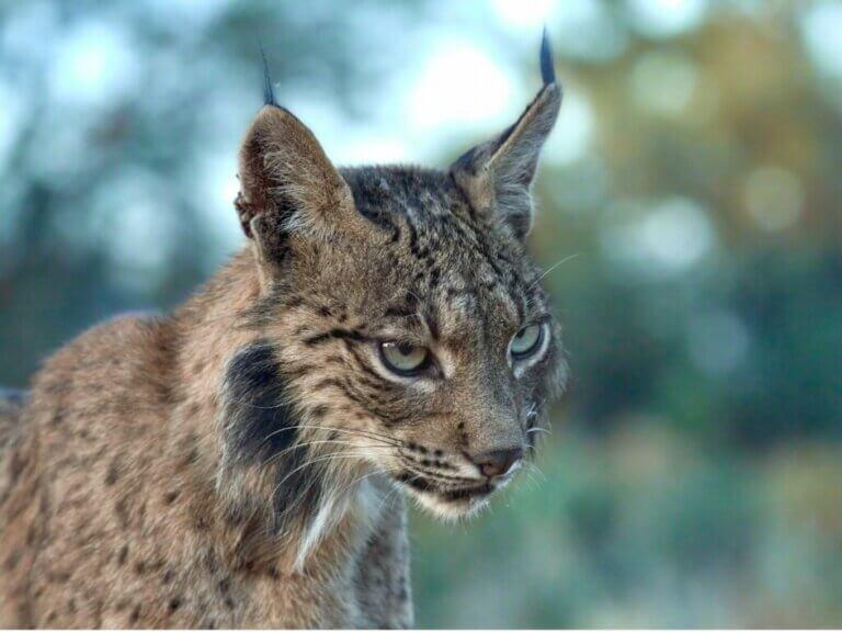 Le comportement du lynx pardelle