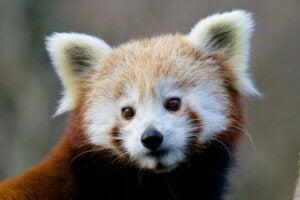14 curiosités sur le panda roux