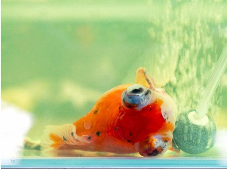 Pourquoi mon poisson nage-t-il sur le côté ?