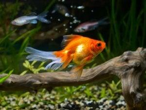 10 curiosités sur le poisson rouge