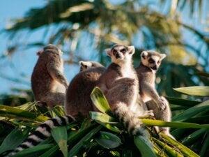 La plupart des primates de Madagascar sont en danger d'extinction