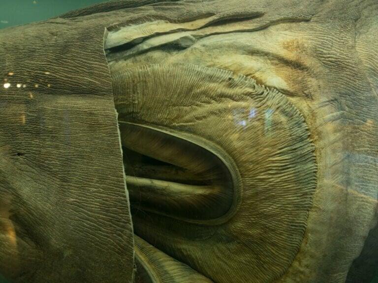 Requin grande-gueule : habitat et caractéristiques