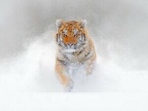 Les différences entre le tigre du Bengale et le tigre de Sibérie