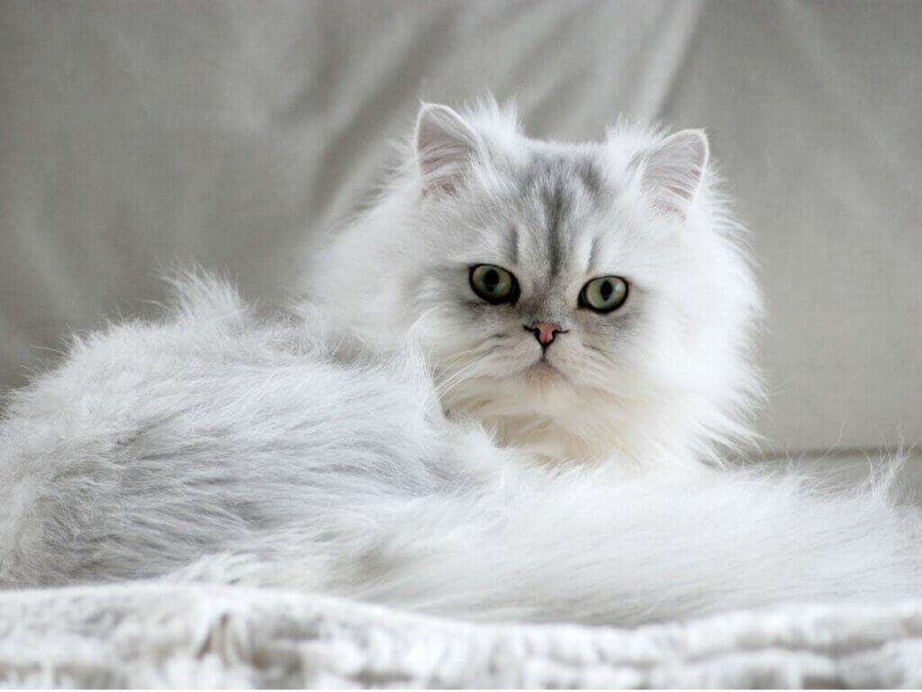 7 types de chat persan