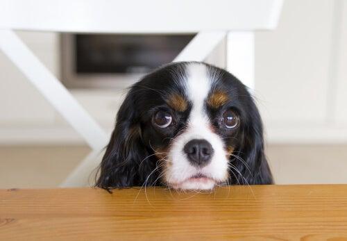 Un chien qui demande de la nourriture.