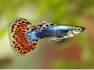 10 curiosités sur le poisson guppy