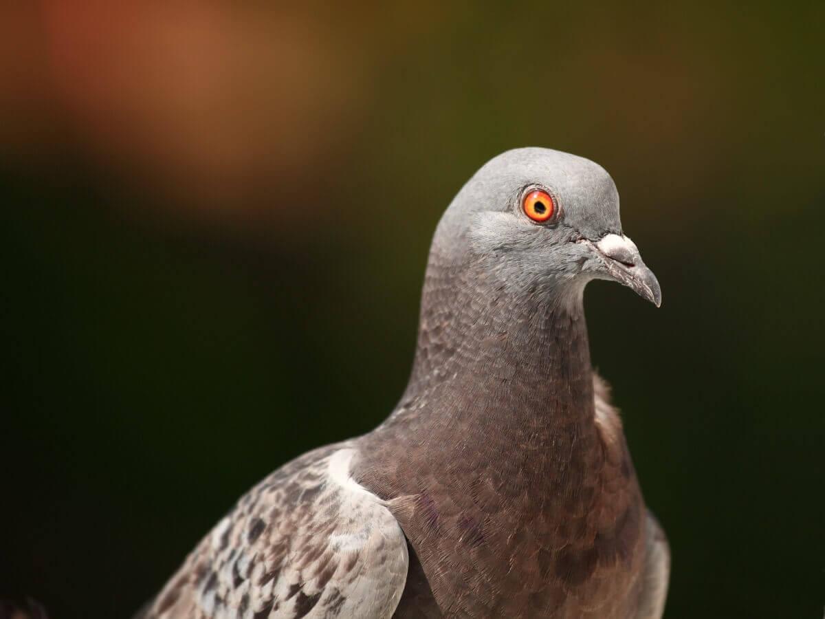 Un pigeon.