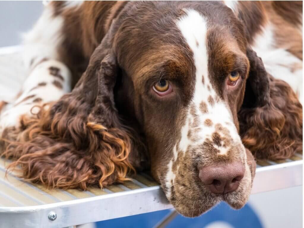 Mon chien a les yeux jaunes : qu'est-ce qui ne va pas chez lui ?