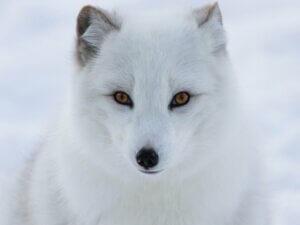 5 animaux en voie de disparition au pôle Nord