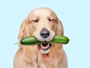 Les chiens peuvent-ils manger du concombre ?