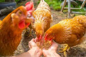 Le comportement des poules
