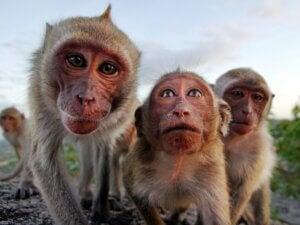 Le comportement des primates