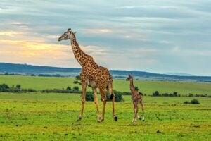 Girafe masaï : habitat et caractéristiques