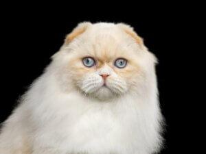 Highland fold : tout ce qu'il faut savoir sur cette race de chats