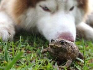 Intoxication par le crapaud chez le chien : symptômes et traitement