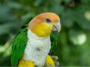 Les caïques : tout ce qu'il faut savoir sur ces oiseaux