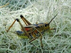 10 curiosités sur les sauterelles