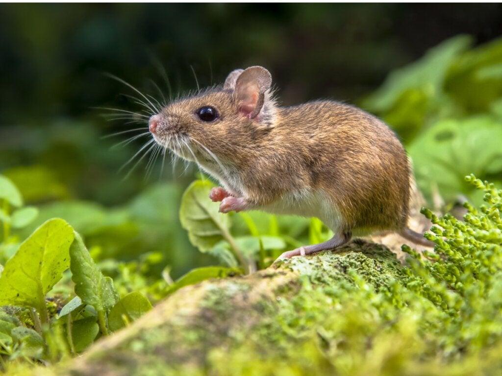 Les différences entre le rat et la souris