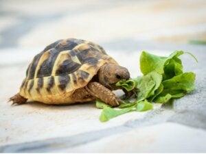 Que mangent les tortues ?