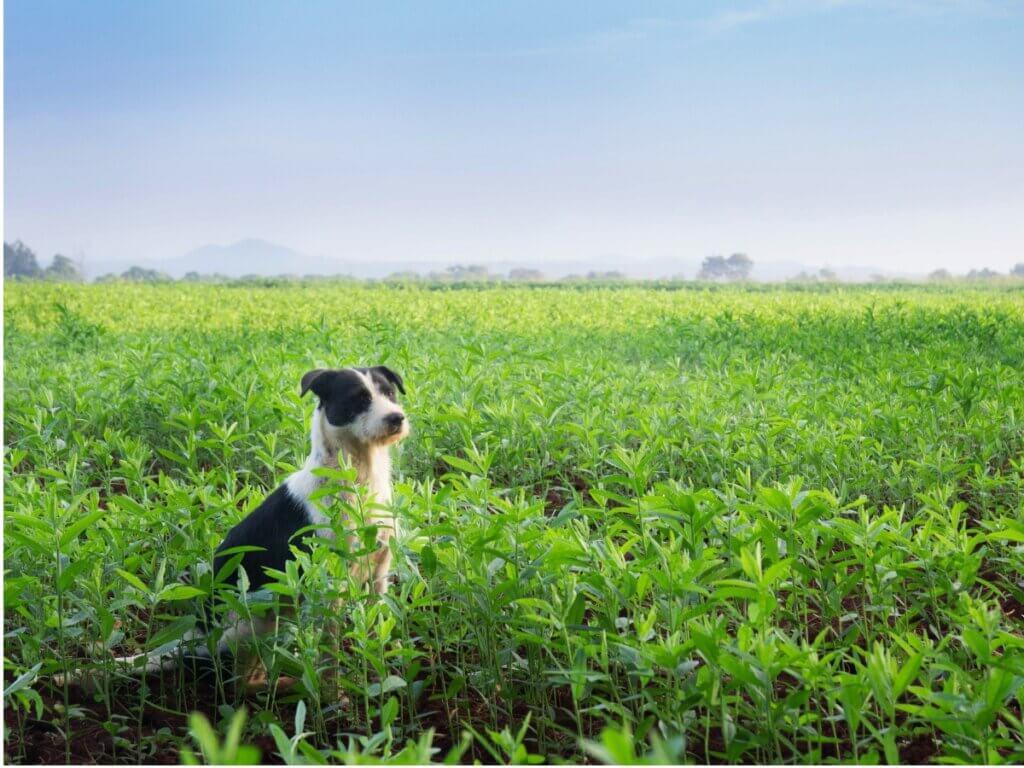 Mucuchies : tout ce que vous devez savoir sur cette race de chiens