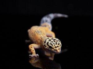 5 reptiles domestiques pour les débutants