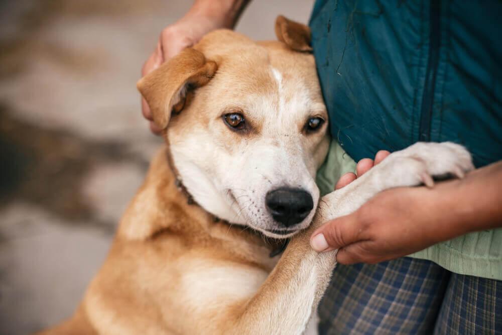 Un chien collé à son maître.