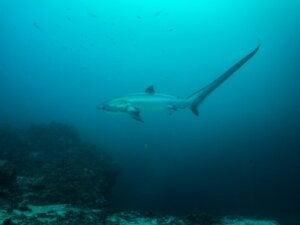 Requin-renard à gros yeux : habitat et caractéristiques