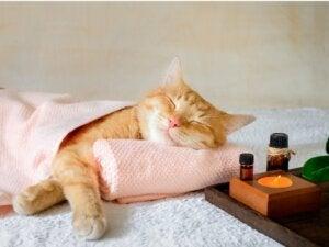 Valériane chez le chat : effets et dosage