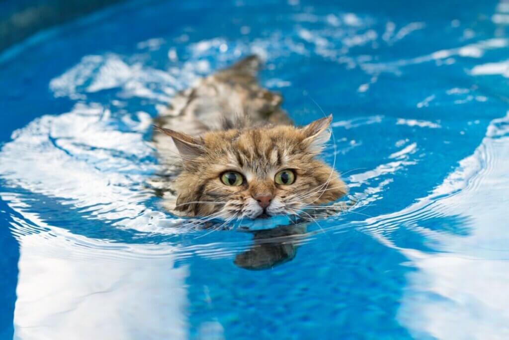 6 races de chats qui aiment l'eau