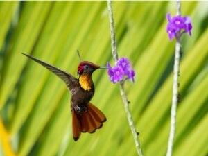 Le cycle de vie du colibri