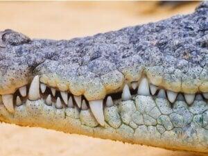 Combien de dents a un crocodile ?
