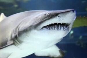 Combien de dents les requins ont-ils ?