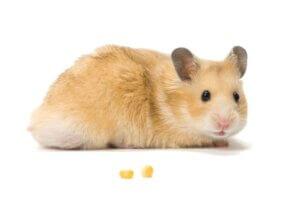 Comment prendre soin d'une femelle hamster enceinte ?