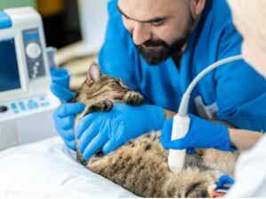 Granulome éosinophile chez le chat : causes, diagnostic et traitement