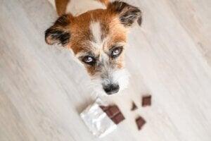 Les 10 intoxications les plus courantes chez le chien