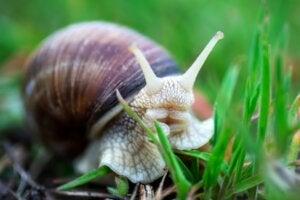 Que mangent les escargots ?